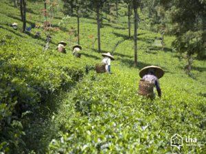 Java-ouest-Les-plantations-de-the-du-col-du-puncak